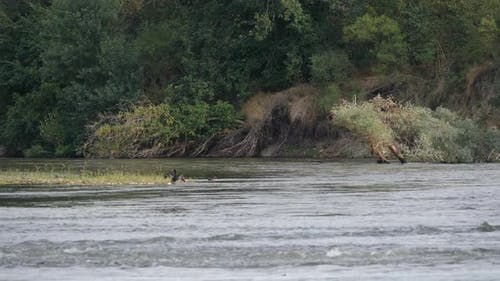 Two Cormorants In The River
