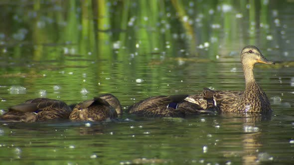 Mallard Female Adult Young Family Eating Feeding in Summer Dabbling Bottom Filtering