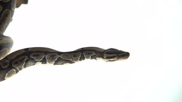 Thumbnail for Royal Python or Python Regius Isolated in Studio Against a White Background. Close Up