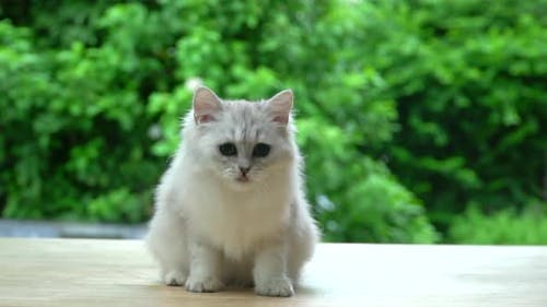 Cute Persian Cat Sitting And Looking On Wood Table