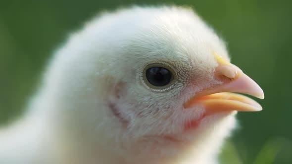Gros plan Bec de poulet jaune de volaille nouveau-né sur le champ d'herbe verte. Belle et adorable petit