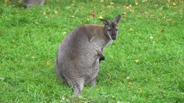 Pensive kangaroo
