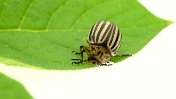 Thumbnail for Colorado Potato Beetle Eats Leaves Close Up on a White Background