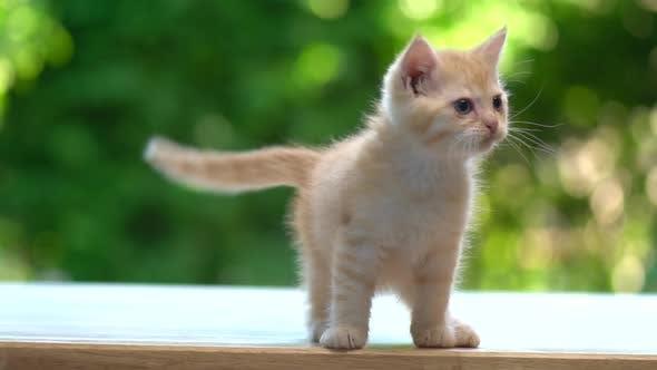 Cute Orange Kitten Crying On Wood Table
