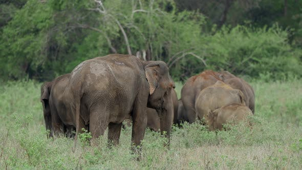 Herd of Asian elephant with baby elephants