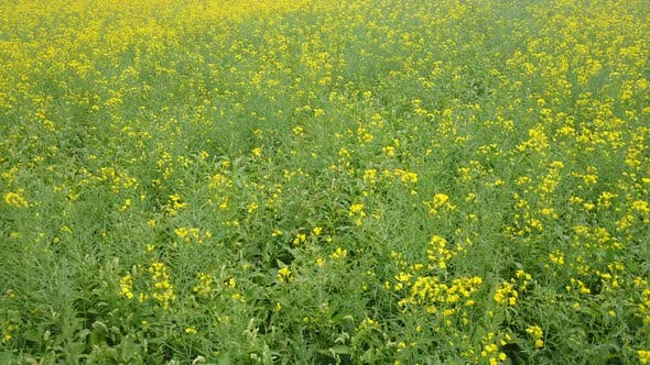 Thumbnail for Rapeseed Fields Aerial 2