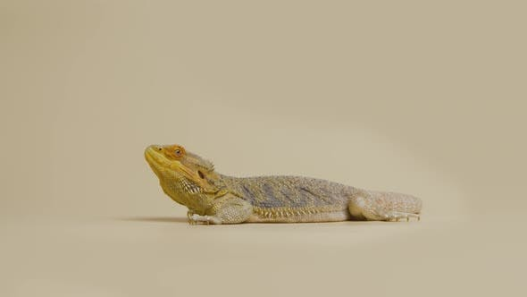Full Length Profile of Lizards Bearded Agama or Pogona Vitticeps Isolated at Beige Background in
