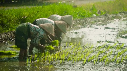Workers on a Rice Plantation