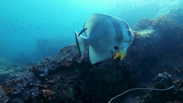 Thumbnail for Batfish At Reef