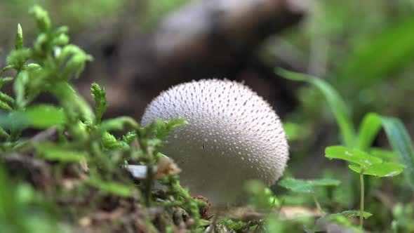 Thumbnail for Mushroom on Forest Floor