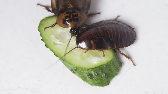 Cockroaches Eat a Cucumber