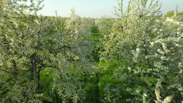 Thumbnail for Aerial View Of Blooming Cherry Garden 6