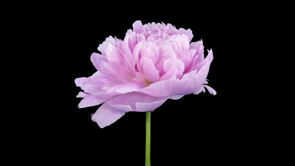 Thumbnail for Time lapse of growing, opening and rotating pink Peony flower