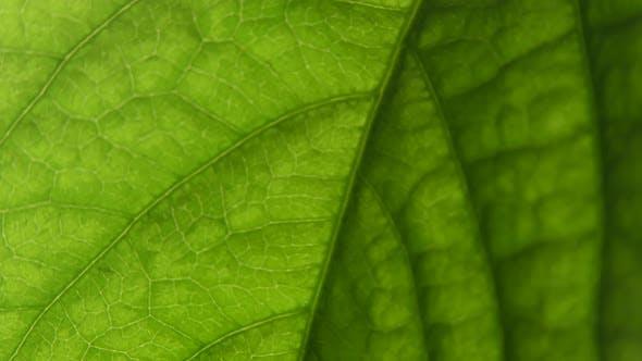 Macro Shot Leaf Plants. Green Living Organism. Capilars.