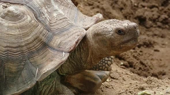 Thumbnail for Big Turtle Closeup Portrait