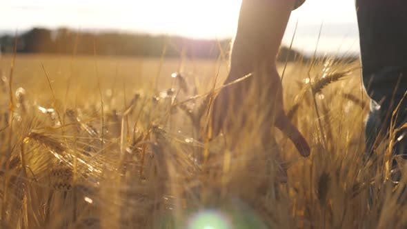 Thumbnail for Close Up of Male Hand Moving Over Wheat Growing on the Plantation. Young Man Walking Through the