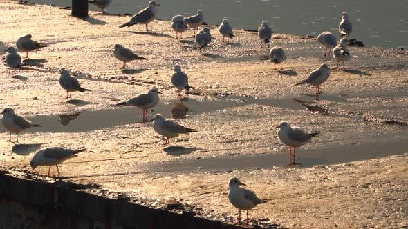 Thumbnail for Seagulls Walking On the Pier Lit By the Evening Sun
