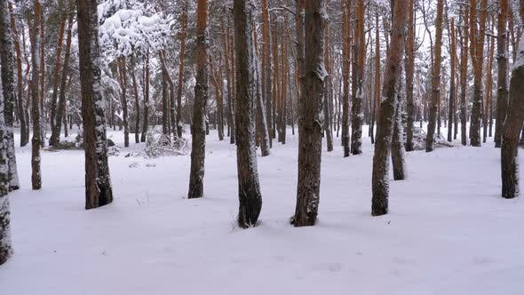Thumbnail for Flying Through the Winter Pine Forest