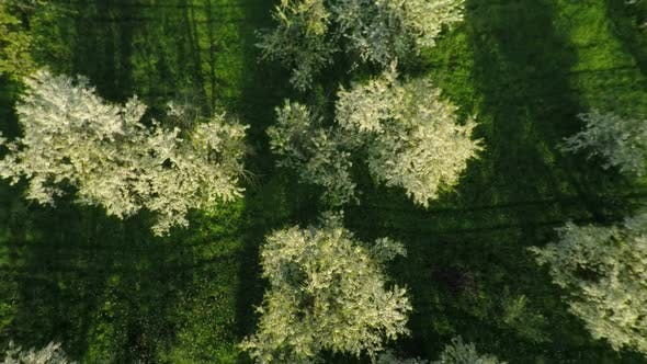 Thumbnail for Aerial View Of Blooming Cherry Garden