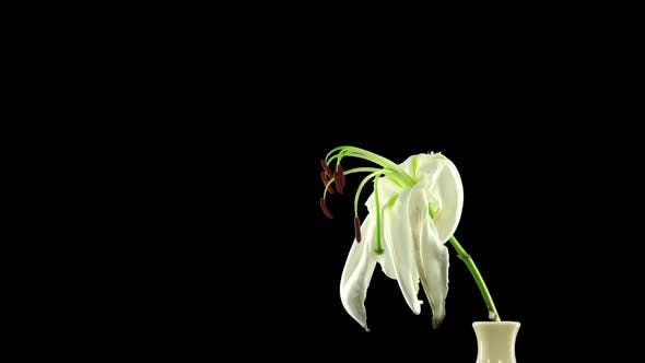 Thumbnail for Time-lapse of dying white lily flower