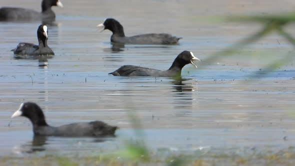 Black Eurasian Coot Ducks Swim on Lake Water Surface