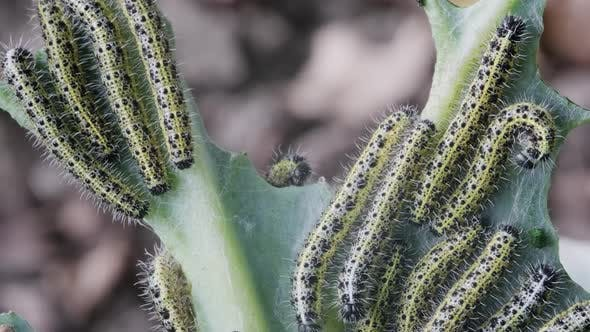 Lot of Caterpillars on Cabbage
