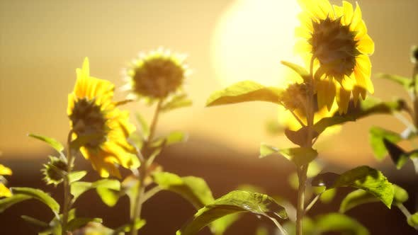 Big Beautiful Sunflowers at Sunset