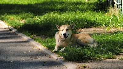 A stray dog is lying in the grass by the road.