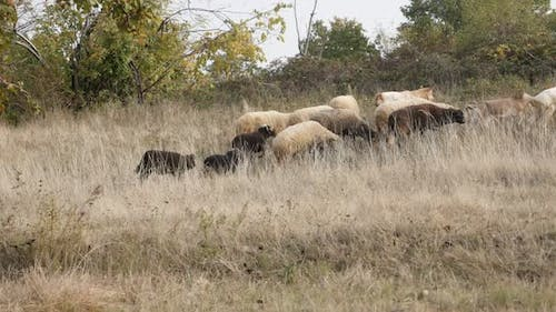 Feeding and walking in nature mixed color flock of sheep 30fps UltraHD footage - Domesticated mammal