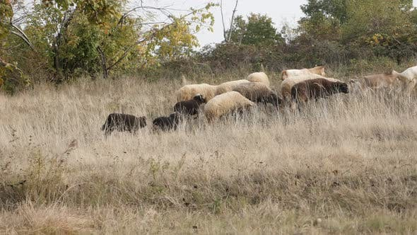 Thumbnail for Feeding and walking in nature mixed color flock of sheep 30fps UltraHD footage - Domesticated mammal