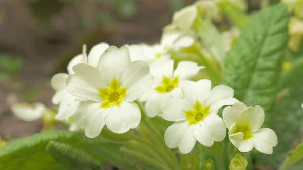 Thumbnail for Primula vulgaris spring plant in the garden close-up  4K 2160p UHD footage - Primrose early spring