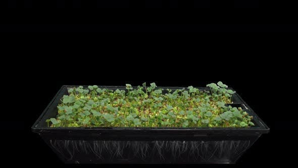 Thumbnail for Time-lapse of germinating microgreens broccoli seeds