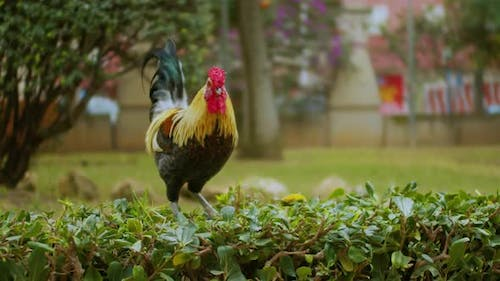 A Big Colorful Majestic Rooster Is Walking in the Park.