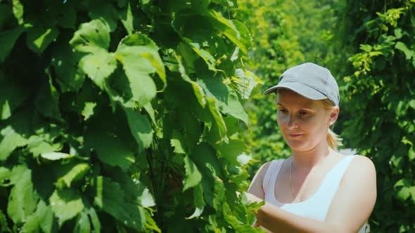 A Farmer Studies Hop Plants at a Brewery Farm