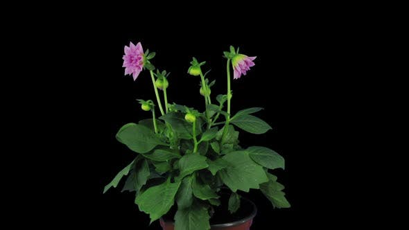 Time lapse of growing, opening and rotating pink dahlia flower