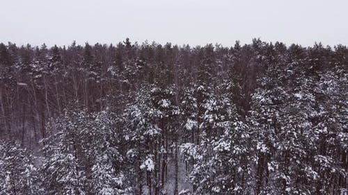 Aerial Photography of a Pine and Birch Forest