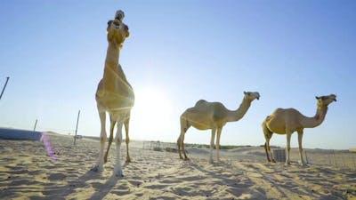 Camels in the desert. Sahara desert. Emirates. Abu Dhabi desert.