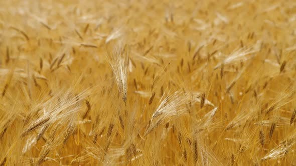 Thumbnail for Ripe Yellow Wheat on the Field at Sunny Day, Meadow