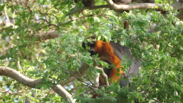 Thumbnail for Western red colobus monkey in a tree