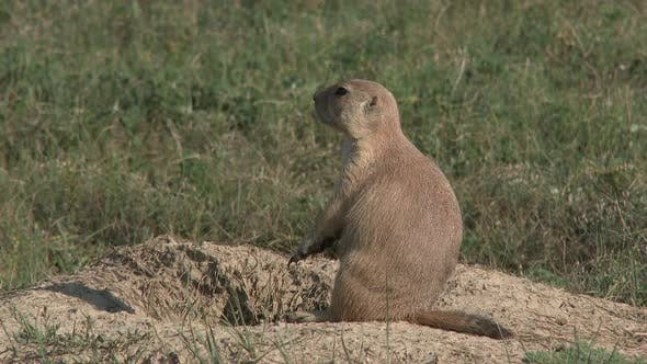 Thumbnail for Black-tailed Prairie Dog Adult Lone Sitting Resting in Summer Burrow Mound