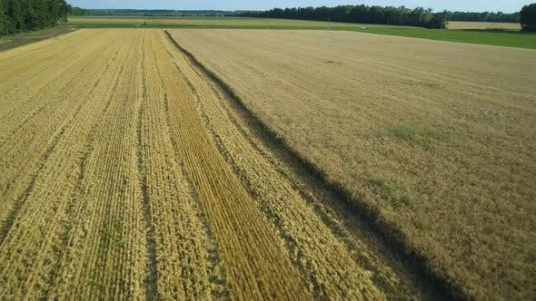Thumbnail for Aerial Drone Footage. Low Flight Over Wheat Field