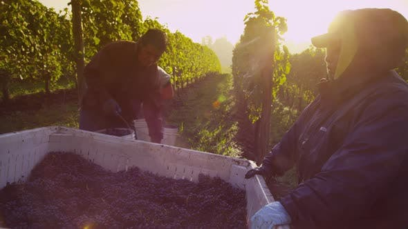Thumbnail for Oregon, USA - October 4, 2013: Harvesting wine grapes in vineyard. Shot on RED EPIC for high quality
