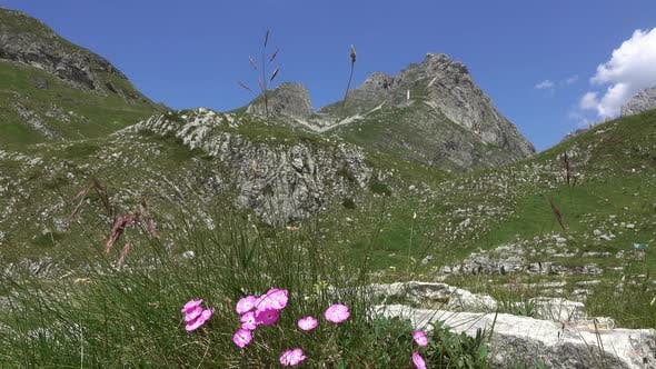 Wild Carnation Between the Mountains in Durmitor
