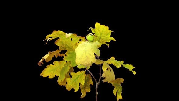 Thumbnail for Time-lapse of drying Oak leaves