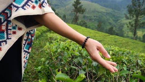 Hand Of Female Tourist Touching Tea Leaves At Green Tea Plantation