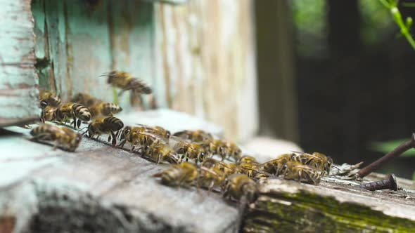 Thumbnail for Honey Bees Fly Near Their Wooden Hive Waving Wings Carry Collected Nectar.
