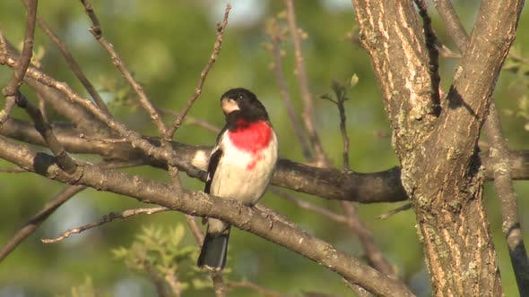 Beautiful Rose-breasted Grosbeak Bird Male Adult Perched on Branch Looking Around in Spring