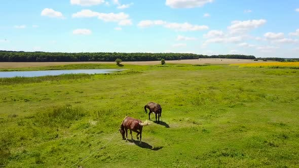 Thumbnail for Grazing Horses in a Meadow
