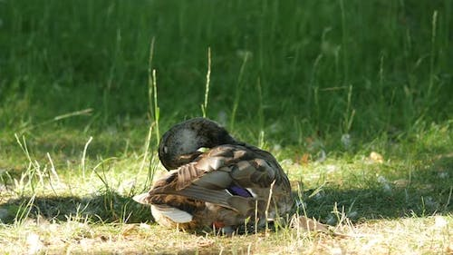 Duck cleaning its brown feathers