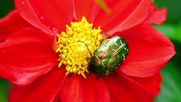 Cover Image for Cetonia Aurata on the Red Dahlia Flower